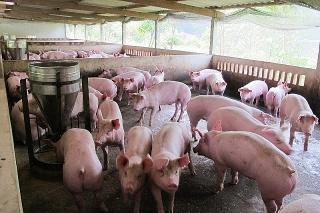 15 doanh nghiệp lớn cam kết đưa giá lợn hơi xuống 70.000 đồng/kg