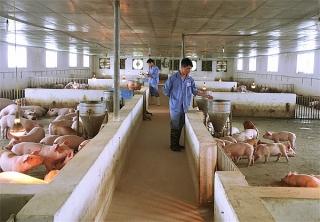 Phê duyệt kế hoạch quốc gia phòng, chống bệnh Dịch tả lợn châu Phi