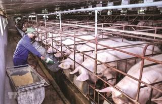 Phát triển chăn nuôi lợn an toàn sinh học
