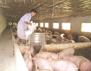 """Quản lý tình trạng """"thổi giá"""" thịt lợn"""