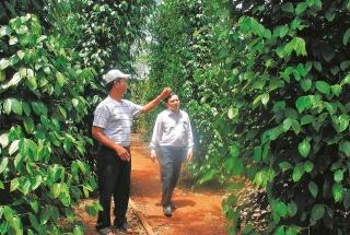 Giá hồ tiêu tăng, nông dân vừa mừng vừa lo