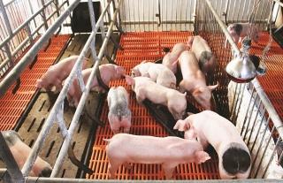 Đề xuất hỗ trợ lãi suất tái đàn lợn