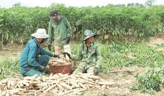 Bệnh hại trên cây sắn làm khổ nông dân