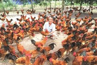 Chăn nuôi nông hộ đem lại hiệu quả kinh tế cao