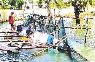 Thúc đẩy phát triển chuỗi cá tra