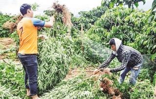 Gia tăng nạn trồng cây cần sa