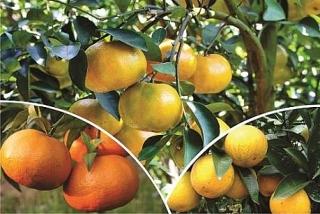 Phát triển bền vững cây ăn quả có múi: Cần sự hợp lực từ nhiều phía